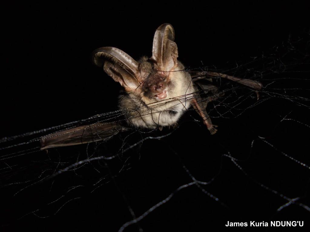 Plecotus balensis James Kuria Ndung'u