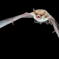 Myotis escalerai in flight, photo: Antton Alberdi