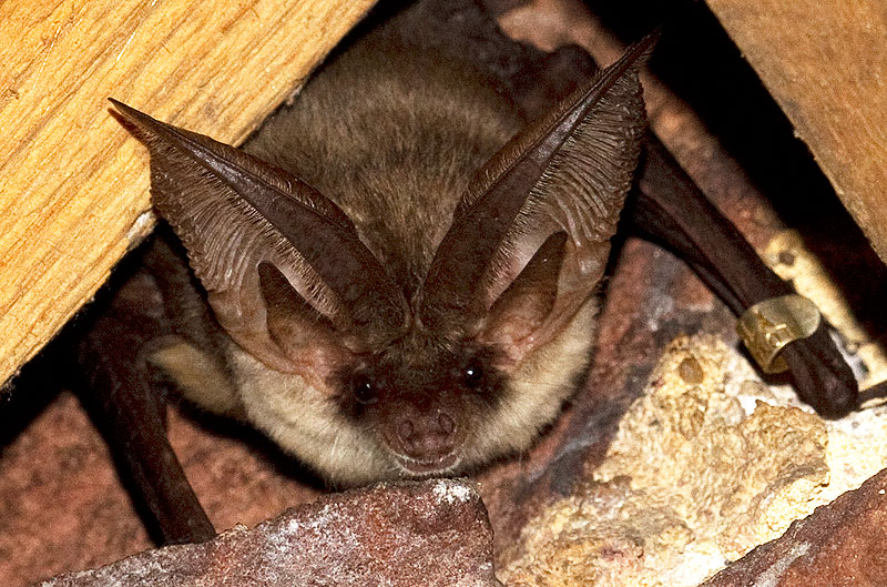 Plecotus austriacus_Gareth Jones